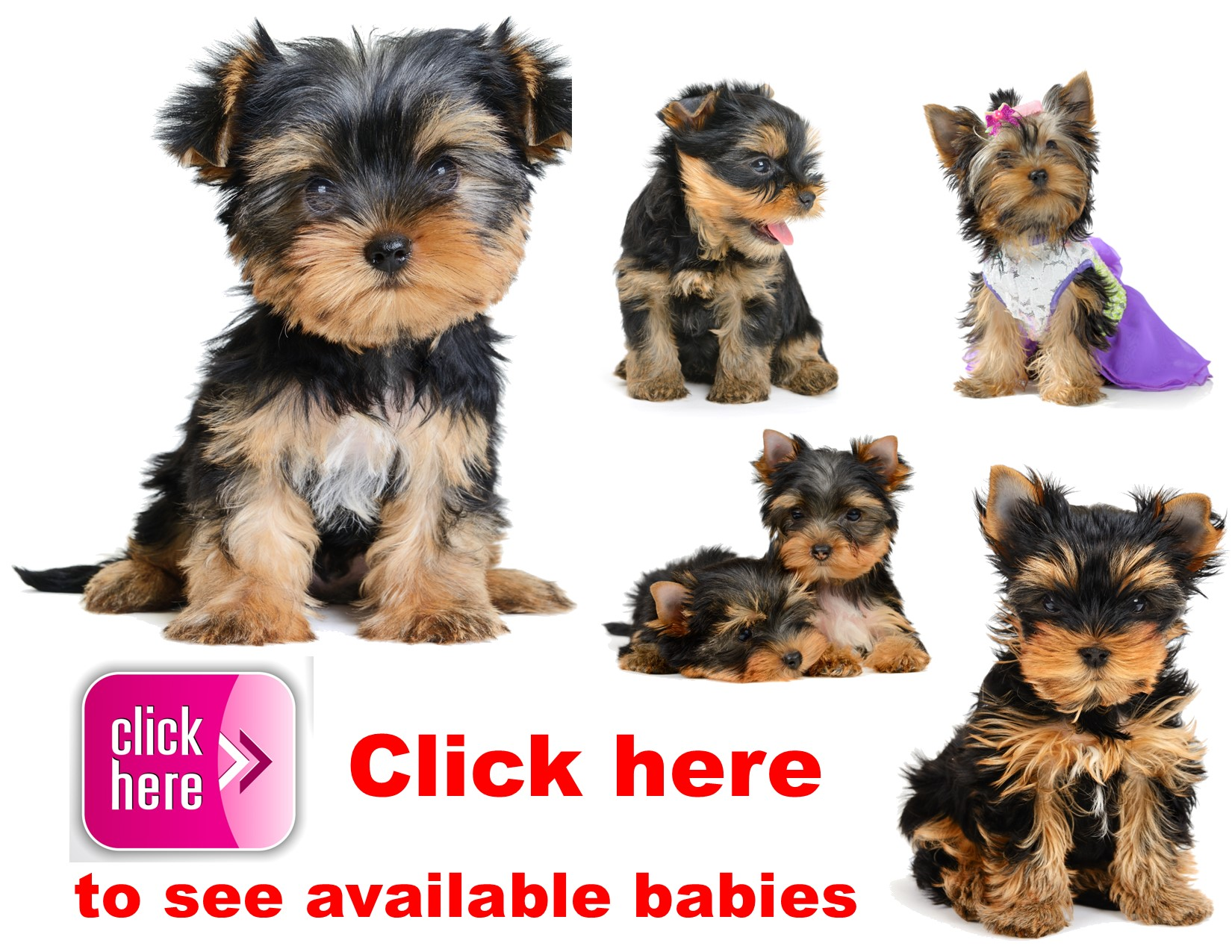 Yorkie, puppy, puppies, kennels, breeder, breeders, puppies for sale, for, sale, adoption, she